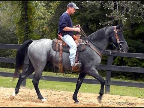 Peacemakers Blue Shadow on trails.  Blue Roan Reg TWH.