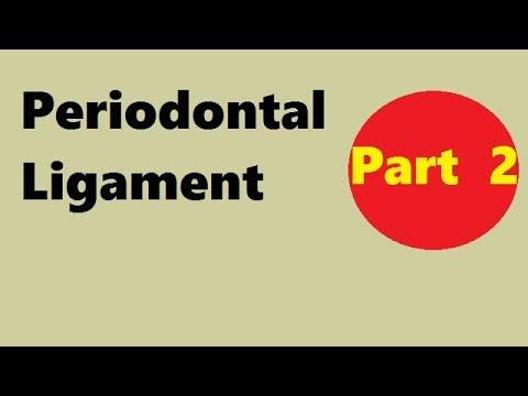 Periodontal ligament Part 2: development of pdl