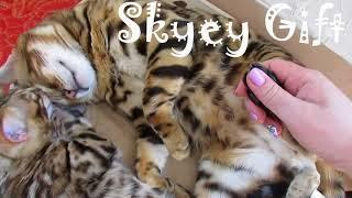 Шикарные бенгалы ! Самые красивые коты .