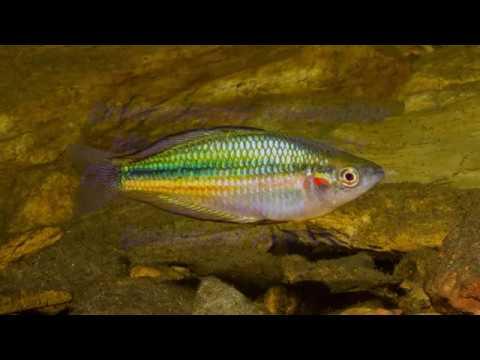 Chessbrook Creek Crimsonspotted Rainbowfish  Biotope Aquarium