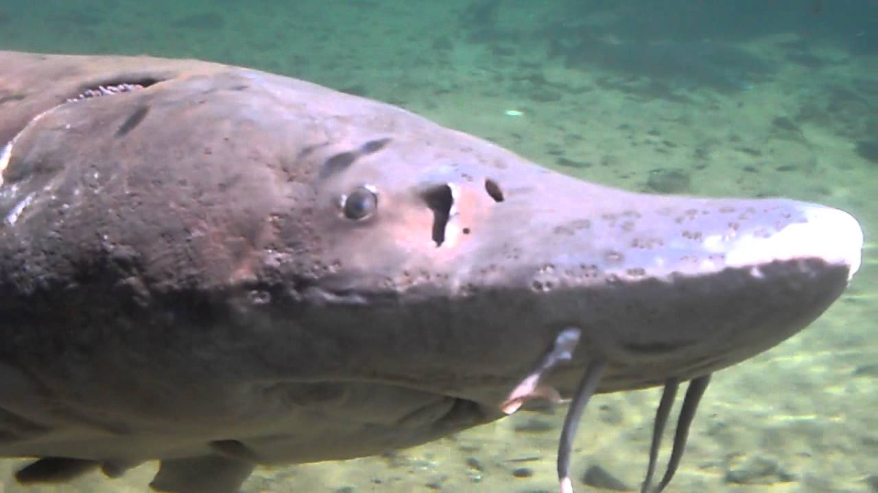 Herman the sturgeon bonneville dam hatchery youtube for Fish counts bonneville dam