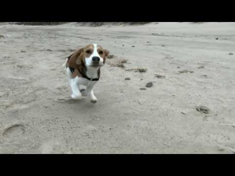 Beagle puppy playing at the beach