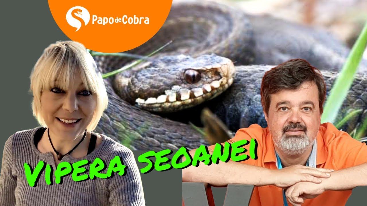 Víbora Cantábrica  na Espanha - @DEBORAH PINTO *Rescates de Animales y Naturaleza* | Papo de Cobra