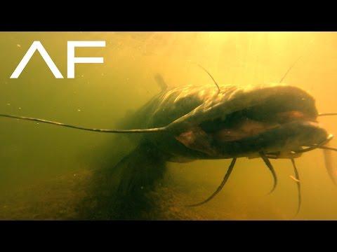 Video Big flathead catfish pictures