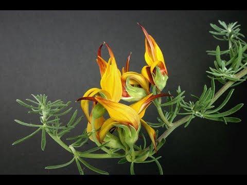 Lotus berthelotii  / Pico de paloma, Red Flame