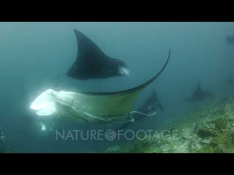 Manta Rays Swim Above Reef, Photographers Near