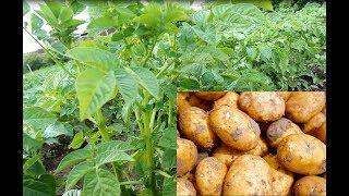 Как Вырастить Богатый Урожай Картофеля.