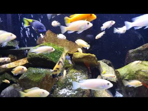 Steve Poland Cichlids 100 Sub Contest Entry