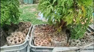 Phương pháp ươm trồng cây đinh lăng xen canh đạt hiệu quả cao nhất ( #LNLV ) | Lão Nông Làm Vườn
