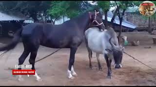 Horse Mating With Cow 2019