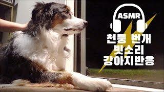 강아지반응 천둥 번개 빗소리 ASMR (잘 때 편안한 영상) ⚡ 보더콜리 레나