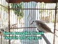 Suara Pancingan Trucuk  Mp3 - Mp4 Download