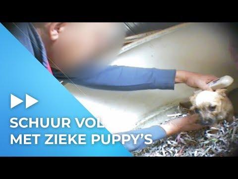 ILLEGALE puppyhandelaar verkoopt