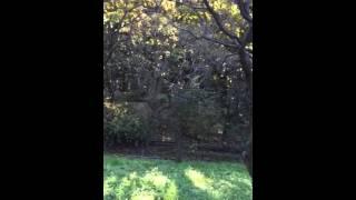 麻丘めぐみさんの「森を駆ける恋人たち」をくちぶえで吹きました。 作詞...