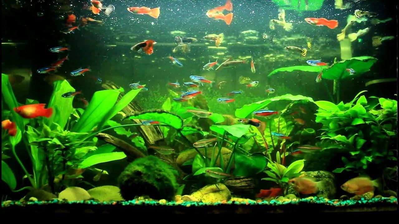 Animated Fish Tank Wallpaper Fish Aquarium Video Youtube Discus Fish Tank Youtube