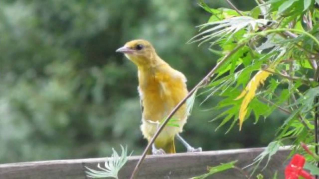 how to attract orioles to your backyard youtube