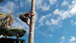 Subiendo a la mata de coco