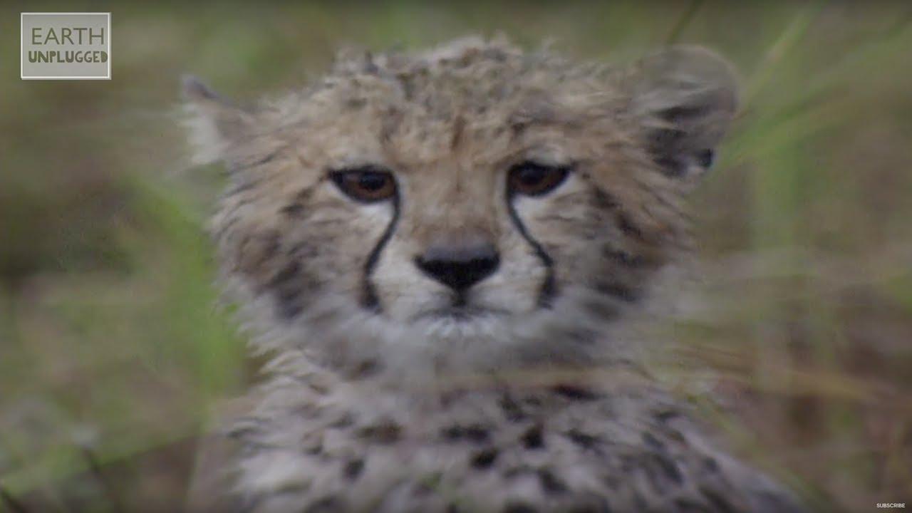 cute cheetahs learn to hunt amazing animal babies earth lab