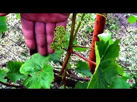 Выращивание технических сортов винограда. Собственный опыт. Виноград 2016.