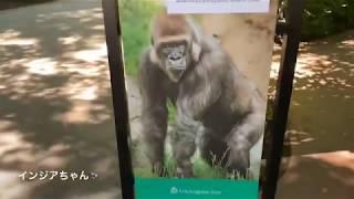 Los Angeles zoo (第2放飼場) ケリー:Kelly 家族のシルバーバック、...