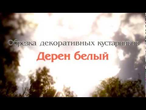 Дерен белый. Обрезка декоративных кустарников. 22 Автор Николай Рабушко. ©