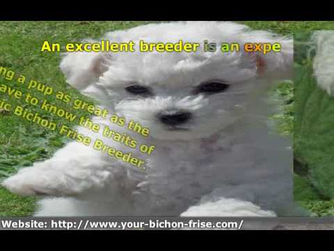 Bichon Frise Breeders - 3 Things to Know When Picking the Right One!