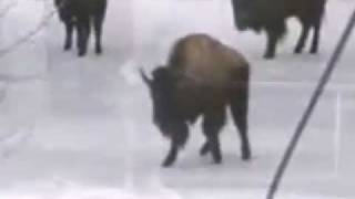The Bison v. Woman Skating Competition