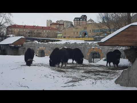 A group of Canadian muskoxes