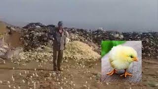 Bozuk Diye Çöpe Atılan Yumurtalardan Binlerce Civciv Çıktı