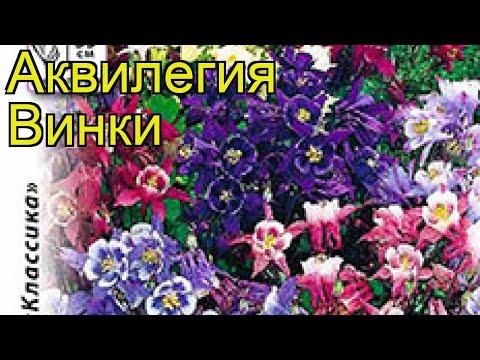 Аквилегия обыкновенная Винки. Краткий обзор, описание характеристик aquilegia vulgaris