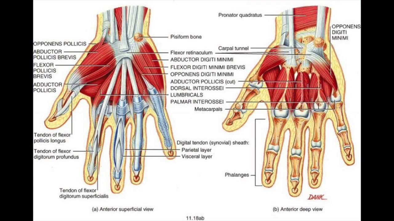 Wrist And Hand Muscles And Ranges Of Motion Youtube