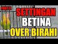 Settingan Lovebird Betina Over Birahi Tetap Bisa Ngekek Panjang Part Ii  Mp3 - Mp4 Download