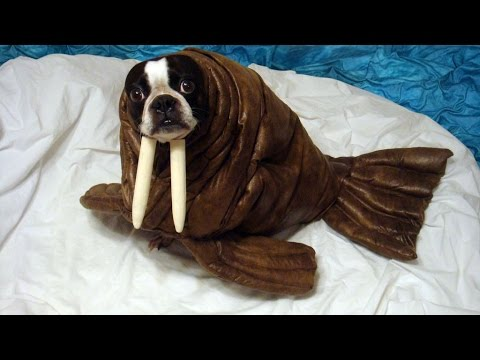 animals in costumes dogs pugs and more youtube