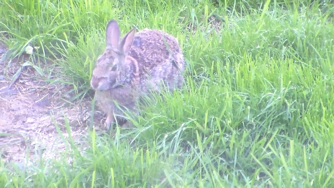 new england cottontail rabbit aka backyard bunny video by summer