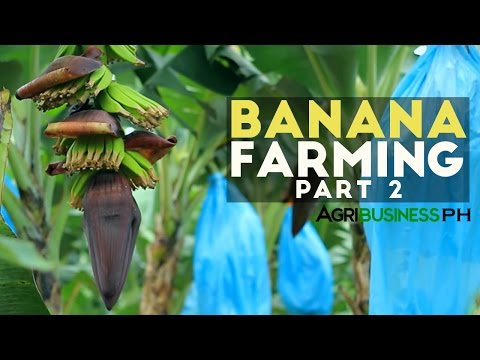 How to grow Banana Tree Part 2 : Banana Farm Management  | A