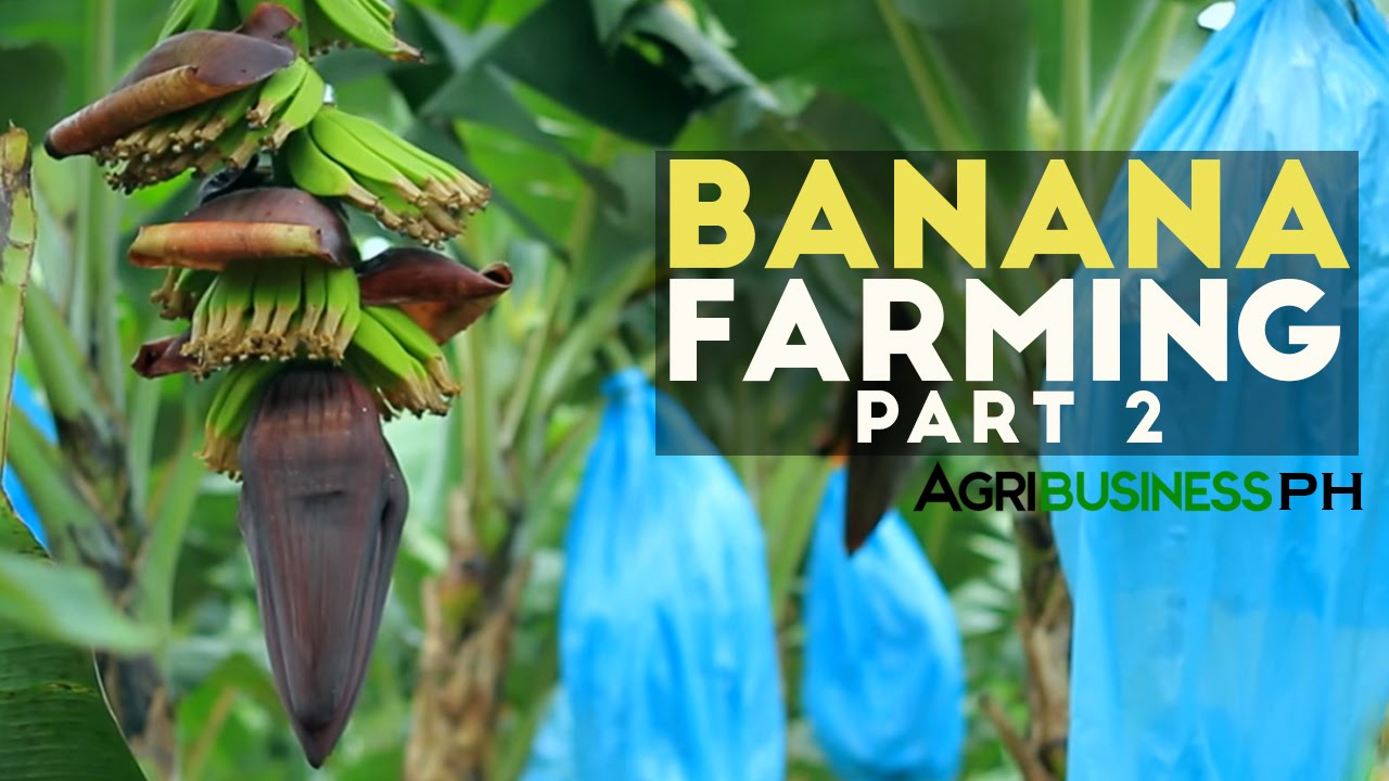 String of banana plant care - How To Grow Banana Tree Part 2 Banana Farm Management Agribusiness Philippines Youtube