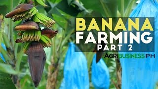 How to grow Banana Tree - Banana Farm Management - Agribusiness Season 2 Episode 11 Part 2.