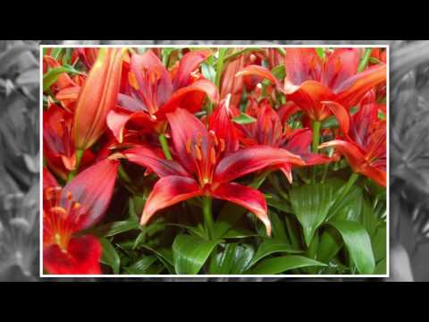 Where and How to Grow Lilies