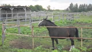 Лошадь беспокоится и ржет