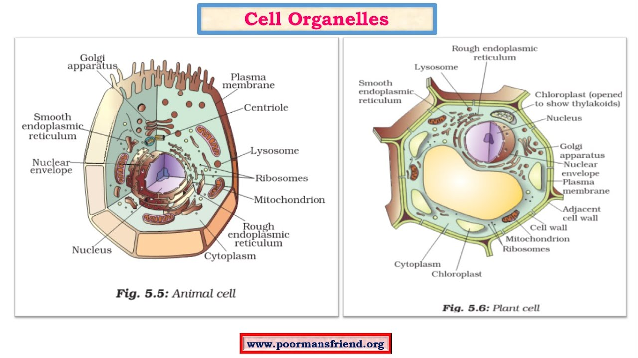 diagram part of cell organelle [ 1280 x 720 Pixel ]