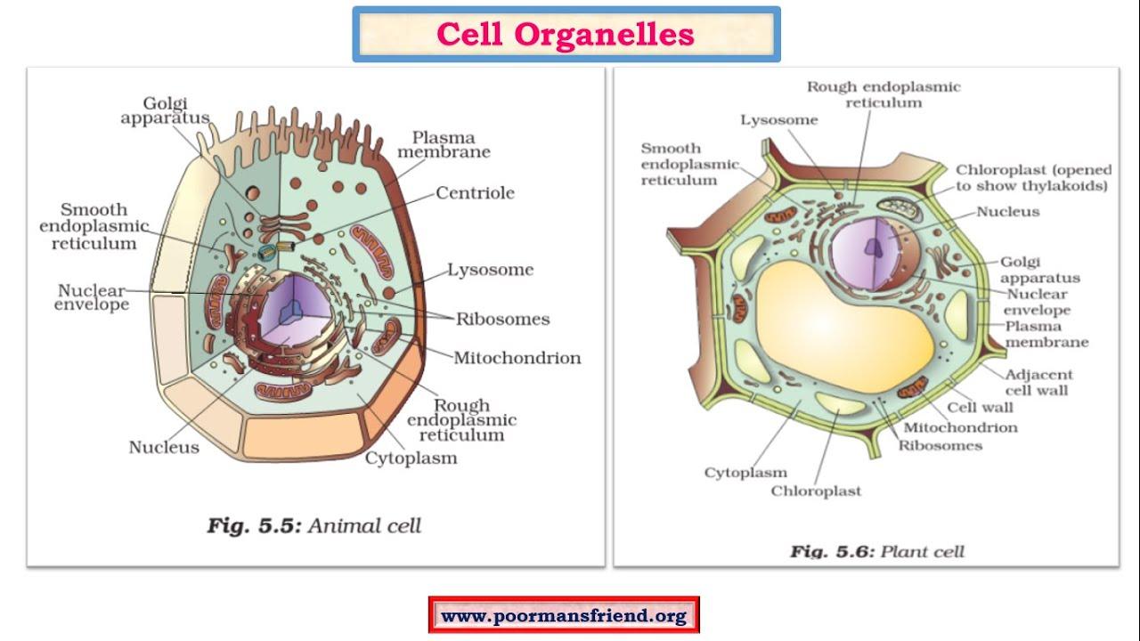 endoplasmic reticulum animal cell diagram stem and leaf worksheet b1 plasma membrane wall nucleus golgi apparatus ribosome lysosome