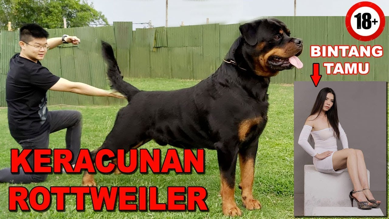 Keracunan Anjing Rottweiler Sampai Punya Showroom Piala Von Den Bosch Kennel Youtube