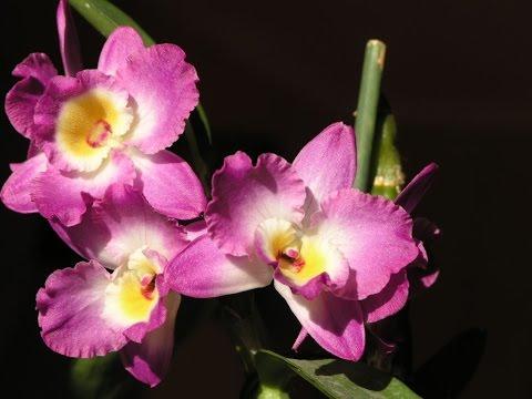 Дендробиум Нобиле . Уход за орхидеей в  домашних  условиях .