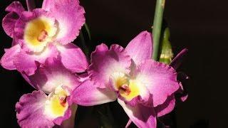 Дендробиум Нобиле . Уход за орхидеей в  домашних  условиях .(Ухаживая за орхидеями Дендробиум Нобиле в течении 3- х лет Я проследила годичный цикл развития этих растени..., 2016-03-30T19:50:21.000Z)