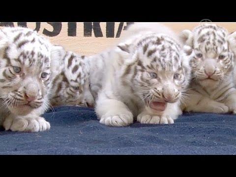 Белых тигрят представили публике в Австрии (новости)