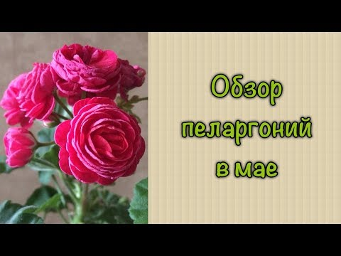#пеларгония #черенки Обзор пеларгоний в мае. Пеларгонии розебудная, плющелистные, зональная
