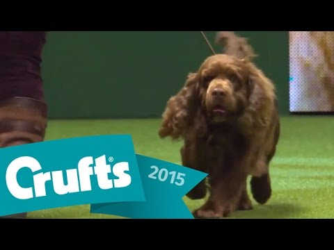 Flat Coated Retriever wins Gundog Group Judging | Crufts 2015