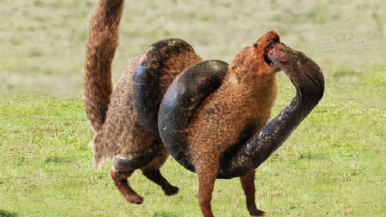King Cobra Vs Mongoose Big Battle In The Desert. Cobra vs Mangosta
