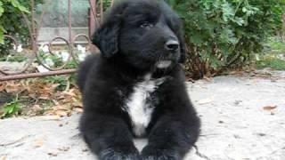 Romanian Raven Shepherd Dog - Haiduc Ciobanesc Corb