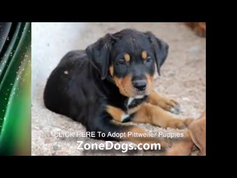 Pitbull Rottweiler Mix Pittweiler Puppies Youtube
